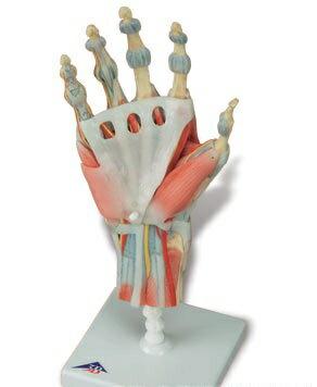 3B社 手構造模型 手関節筋・靭帯付4分解モデル(m33-1) ...