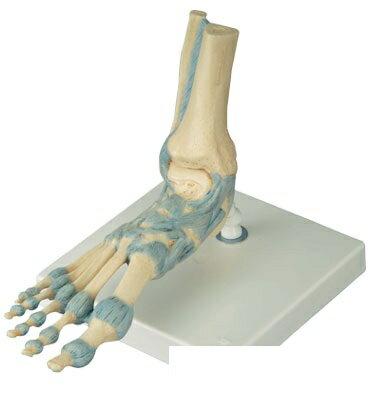 【無料健康相談付】3B社 足構造模型  足関節靭帯付モデル(M34)   【smtb-s】 【fsp2124-6m】【02P06Aug16】:Shop de clinic
