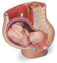 【送料無料】【無料健康相談付】3B社 小型人体解剖模型 M.A.妊娠骨盤モデル (mal20)