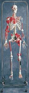 主要な筋肉が付いた骨格模型【感謝価格】3B社 等身大全身骨格模型 骨格主要運動器官付モデル(...