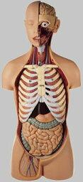 【送料無料】【無料健康相談 対象製品】ソムソ社 男性の人体解剖模型 as21