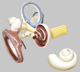 【送料無料】【無料健康相談 対象製品】ソムソ社 鼓膜と耳小骨と内耳模型 ds17