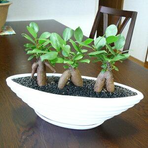【送料無料!】 3本立ちガジュマル 縁起のよい 風水 がじゅまる 観葉植物 炭玉 多幸の木 ラ…