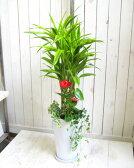 【送料無料!】 観葉植物ギフト ミリオンバンブー華やか寄せ植え 10P03Dec16 父の日