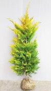 【ゴールドライダー】樹高1.2m前後根巻き大苗