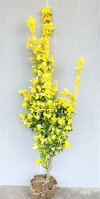 【黄金マサキ(オウゴンマサキ)】樹高1.2m前後根巻き苗おうごんまさき