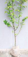【花梨(カリン)】1.2m前後2年生接ぎ木根巻き苗果樹苗かりん縁起木・シンボルツリーに