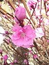 八重咲きピンクの花【矢口花桃(ヤグチハナモモ)】接ぎ木根巻き大苗樹高1.5m前後