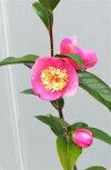 蕾付き苗【椿センテッドジェム】樹高60cm前後3号ポット入り