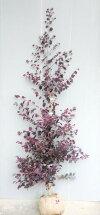 春に変わった形の花を咲かせる【紅花常盤満作(ベニバナトキワマンサク)】樹高1.3m前後根巻き大苗