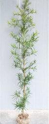 【イヌマキ】樹高1.9m前後風格のある生垣・主木にいぬまき根巻き苗