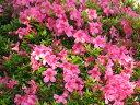 初夏に花が咲くグランドカバー代表種【サツキツツジ】大盃(オオサカズキ)根巻き苗 樹高30cm前後
