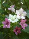 花色が白から淡紅そして紅色に変わり3色の花が同時に咲く【ハコネウツギ】樹高1.2m前後 根巻き苗