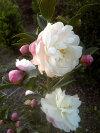 花びらの外弁がほんのり赤く早咲きの【朝倉さざんか(アサクラサザンカ)】つぼみ付き樹高80cm前後