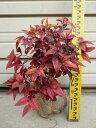 冬に燃え盛るように美しく色づく葉【お多福南天(オタフクナンテン)】大苗樹高30cm前後