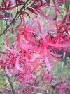 春に変わった形の花を咲かせる【紅花常盤満作(ベニバナトキワマンサク)】樹高1.4m前後根巻き大苗