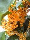 とても良い香りの花【金木犀(キンモクセイ)】樹高1.5m前後 根巻き苗