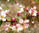 【紅花雪柳 ピンクユキヤナギ フジノピンキー】花芽付き根巻き苗 樹高1.6m前後