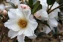 白花の春さざんか【銀竜山茶花(ギンリュウサザンカ)】樹高0.9m前後 根巻き苗