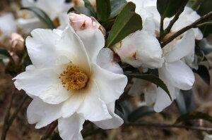 白花の春さざんか【銀竜山茶花(ギンリュウサザンカ)】樹高1.0m前後 根巻き苗