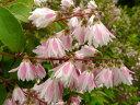 枝いっぱいの八重咲きの白に赤のぼかしの花【更紗空木(サラサウツギ)】樹高1.6m前後 株立ち...