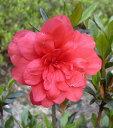 蕾付き苗【八重咲きさつき(ヤエザキサツキ)】樹高35cm前後 バラのような八重咲きの花 根巻き苗 やえざきさつき