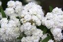 八重咲きの小花が小さなまりのように可愛らしい【八重咲きコデマリ(ヤエザキコデマリ)】蕾付...