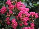 2020年夏開花予定苗【サルスベリ カントリーレッド(赤花)】樹高1.5m前後 百日紅 さるすべり かんとりいれっど