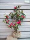 真っ赤な大輪の花が美しいアザレア類の【堀内寒咲(ホリウチカンザキ)】樹高60cm前後