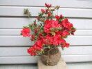 真っ赤な花の【太陽つつじ(タイヨウツツジ)】根巻き苗樹高35cm前後