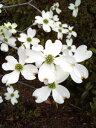 蕾付き苗【ハナミズキ(白花)・クラウドナイン】 樹高0.8m 接ぎ木根巻き苗