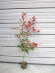 【レッドロビン(西洋紅かなめ)】樹高1.2m前後 ポット入り 赤い葉が美しい れっどろびん セイヨウベニカナメ