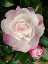 花がきれいで人気の有る【初光山茶花(ハツヒカリサザンカ】根巻き苗樹高1.5m前後