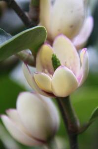 花の香りの良さはトップクラスの【カラタネオガタマ】6号ポット入り 樹高60cm前後