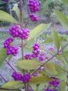秋に紫色の美しい実をつける【紫式部(ムラサキシキブ)(コムラサキ)】樹高1.3m前後根巻き大苗