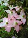初夏の日差しを浴びて咲く【山法師(ヤマボウシ)ピンク花】2本立ち接ぎ木根巻き苗 樹高1.0m前後