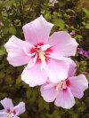 夏の日差しがよく似合う花【ムクゲ薄紅紫花】樹高1.2m前後根巻き大苗