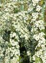 早春に枝いっぱいの純白の花【雪柳(ユキヤナギ)】樹高1.6m前後 根巻き苗