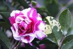 【花御堂絞り山茶花(ハナミドウシボリサザンカ)】樹高1.1m前後根巻き大苗