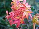葉も幹も美しいもみじ【美峰紅葉(ビホウモミジ)】根巻き苗 樹高1.5m前後 イロハモミジの園芸種
