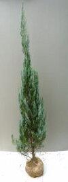 ガーデニングのシンボルツリーに【ブルーエンジェル】樹高1.5m前後