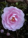 蕾付き苗【乙女山茶花(オトメサザンカ)】根巻き苗樹高1.0m前後淡桃色の花