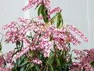 【紅花あせび(ベニバナアセビ)】樹高0.5m前後根巻き苗