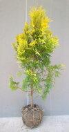 良い香りの葉【ヨーロッパゴールド】樹高1.0m前後