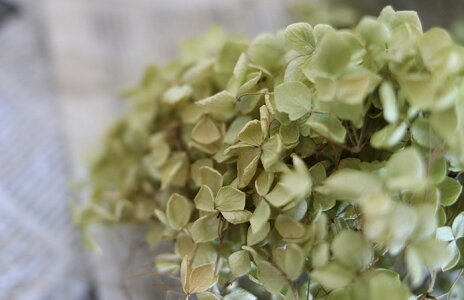 アジサイ・アナベルヘッド/あじさいアジサイ/国産ドライフラワー花材リース手作り材料素材ナチュラルグリーンディスプレイインテリア