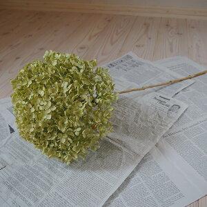 アナベル枝つき【大】/アジサイあじさい/国産ドライフラワー花材リース手作りインテリアナチュラル材料素材グリーン