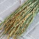 稲 ( 米 )/ 稲穂 お米 / 北海道産 ドライフラワー 花材 リース 手作り 国産 材料 素材 ナチュラル インテリア ディスプレイ