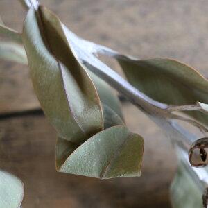 ユーカリテトラゴナナッツM/ドライフラワーナチュラルグリーンインテリア素材材料実付きシックモダン花材素材シルバーリーフ