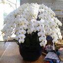 20本仕立て 白の花の胡蝶蘭200輪〜【神奈川県だけの配送に限ります】
