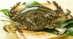 カニ!超新鮮!獲れたての活き締めワタリガニ(メス)特大1尾(450g以上)びっくりするほど大き…